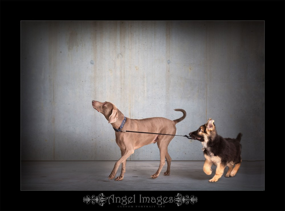 Glasgow photographers Puppy and Weimaraner