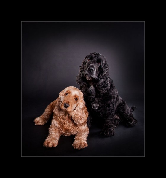 Glasgow photographers dogs king_charles_spaniels