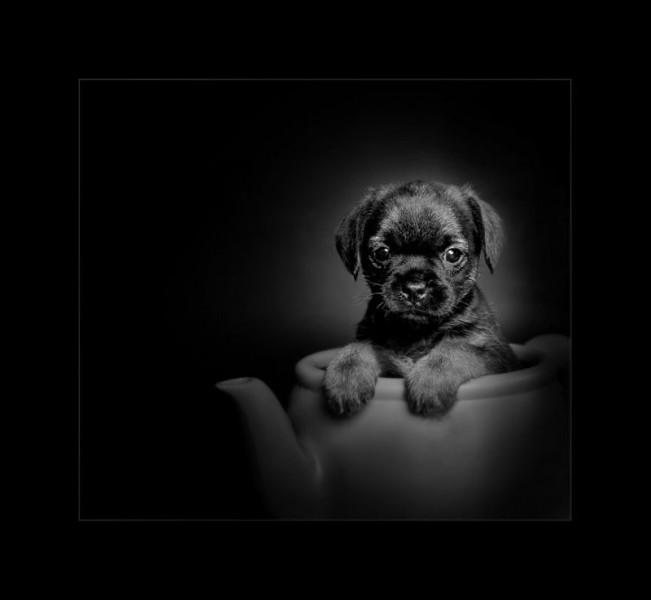 Glasgow photographers pets puppy_in_teapot_swpp_silver_award