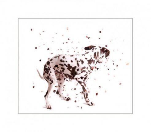 Glasgow photographers dalmation dog shaking the spots off
