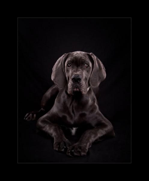Glasgow photographers dog_portrait_doberman_puppy