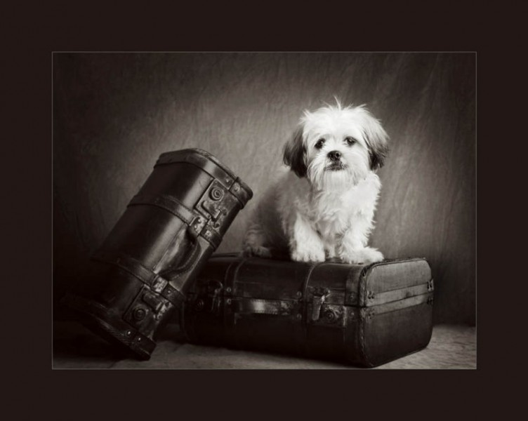 Glasgow photographers dogs schitzu on suitcases